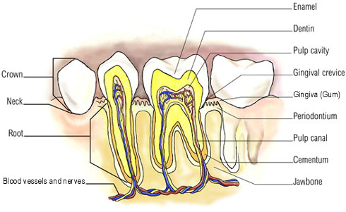Internal structure of teeth